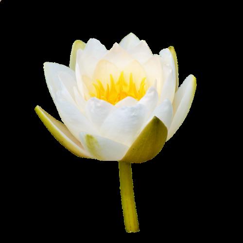 vandens lelija,rožė,gėlė,vanduo pakilo,nuphar lutea,tvenkinio augalas,rosengewächs ežeras,liilio tvenkinys,tvenkinys,sodo tvenkinys,gamta,augalas,žydėti,izoliuotas,Iškirpti