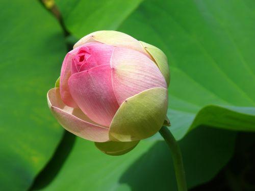 vandens lotosas,tvenkinys,lelija,žalias,rožinis,žydėti,gėlių,budas,šviežias,gėlė,lotosas