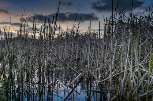 vandens nendrės,nendrės ežeras,tvenkinys,ramus,aplinka,kraštovaizdis,gamta,vanduo,ramus,augalai,lauke,vakaras,nendrės,dusk,dangus,debesys