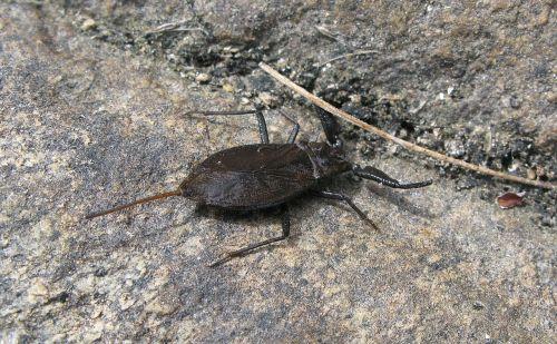 vandens skorpionas,skorpionas,vabzdys,gräsö,gyvūnai,gyvūnų pasaulis,Švedija,gamta,vasara,klodyvel,vabzdžių rūšys,nepa cinerea