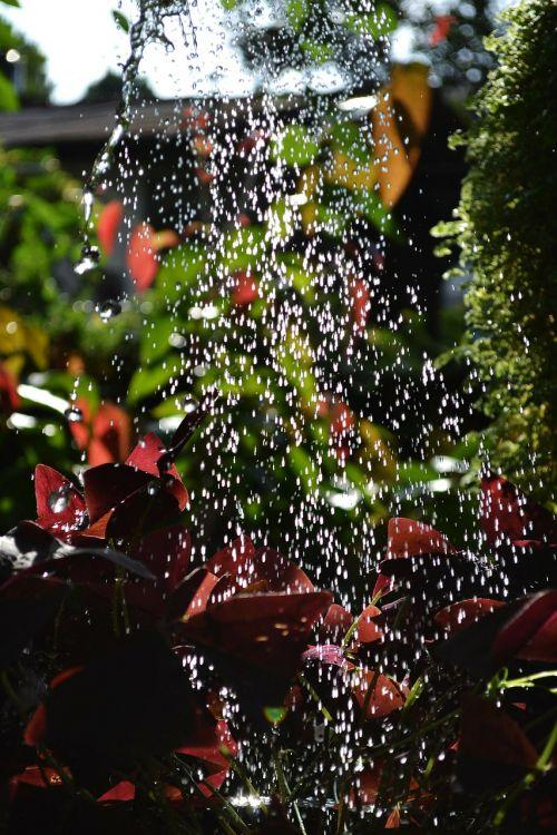 laistymas,vandens lašai,augalai,sodas,gamta,Šri Lanka,ceilonas,Mawanella