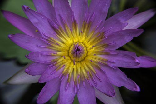 vandens lelija,gamta,gėlės,violetinė,žiedlapiai,tvenkinys,žiedas,augalas,vanduo