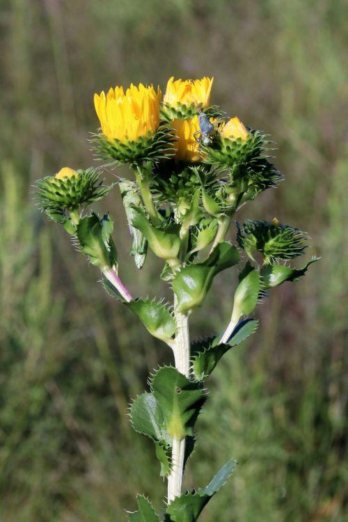 gamta, augalai, gėlės, geltonos spalvos & nbsp, gėlės, laukinės vasaros spalvos, geltonos ir laukinės vasaros spalvos, Oklahoma & nbsp, wildflowers, Oklahoma & nbsp, geltona & nbsp, laukinės vasaros spalvos, vaškinis, vaškas & nbsp, auksinių žvakes, geltonos spalvos & nbsp, žiedlapiai, gyvūnai, laukinė gamta, vabzdžiai, žiupsneliai, žalia nykštukų, žalias & nbsp, fonas, žydėti, vaškas goldenweed laukinių gėlių