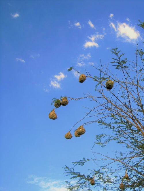 dangus, mėlynas, medis, lizdai, weaver & nbsp, paukštis, audėjų lizdai prieš mėlyną dangų