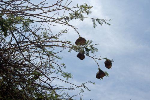 medis, filialai, lizdai, sustabdytas, audėjų, paukščių, audėjų lizdai