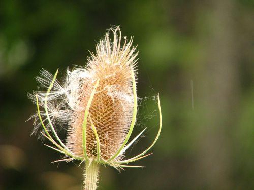 piktžolių,sėklos,flora