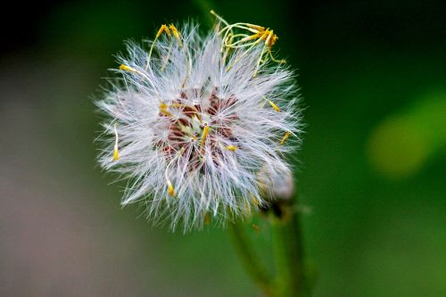 piktžolių,australia,augalas,gamta,gėlė,flora,bushland,laukiniai,žydėti,Vakarų,balta,tvirtas,subtilus,kiaulpienė,makro