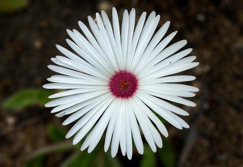Vakarų skolų ir tvarkymas, Portulaca Grandiflora, siųsti mielas, tarp metro obligacijas ir tvarkymo, baltos gėlės, ledo gamykla, gėlės, Sedžongas