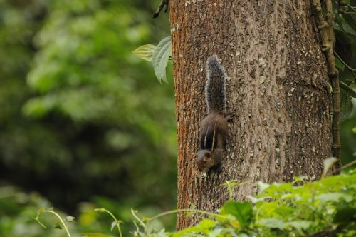 Vakarų Ghat voverė,laukinė gamta,valparai,kerala,gyvūnai,Vakarų gatas,Indija,į pietus,Vakarų,gamta,nacionalinis,parkas