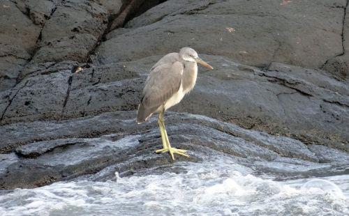 vakarų rifas,paukštis,vakarų rifų heronas,egretta gularis,Wader,papludimys,jūra,arabų,gokarna,Indija