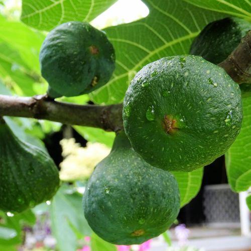 šlapias, vaisiai, figos, žalias, lapai, Iš arti, medis, filialas, šlapias figas