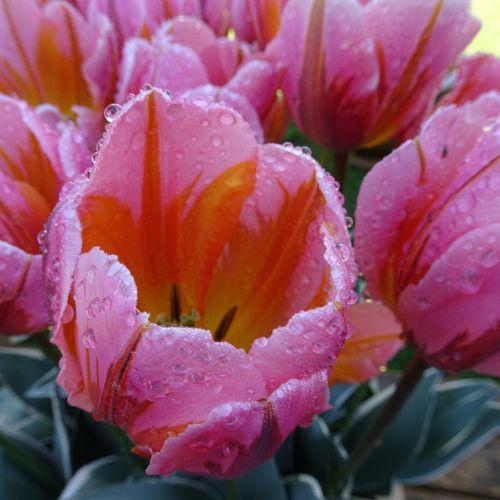Iš arti, tulpės, vanduo, lašai, šlapias, rožinis, gėlės, gražus, žiedlapiai, nuotrauka, fotografija, šlapias tulpes