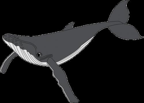 banginis,gyvūnas,žuvis,Jūros gyvenimas,maudytis,vandenynas,jūros žinduolis,žinduolis,jūrų,nemokama vektorinė grafika