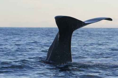 banginis,banginis sperma,pasinerti,cachalotas,vandenynas