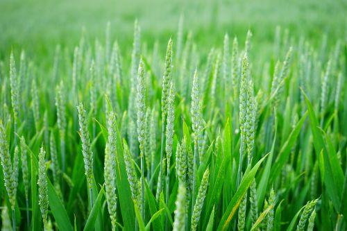 kvieciai,kviečių smaigalys,rugių laukas,kukurūzų laukas,spiglys,grūdai,vasara,Žemdirbystė,grūdai,žalias,augimas,ausis,Triticum,laukas,žemės ūkio ekonomika,maistas,augalas,auginimas,getreideanbau,saldymedis,Poaceae,triticum aestivum,kukurūzų ausis,kukurūzų ausis,halem