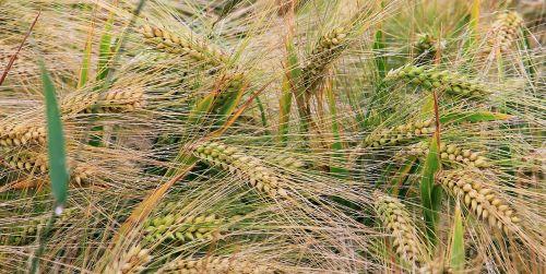 kvieciai,rugių laukas,grūdai,grūdai,spiglys,kukurūzų laukas,Žemdirbystė,laukas,gamta,kraštovaizdis,aukso geltona
