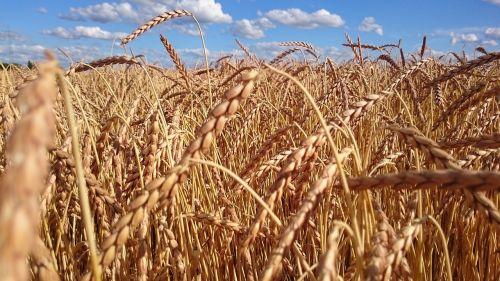 kvieciai,laukas,grūdai,grūdai,rugių laukas,Žemdirbystė,ausis,ariamasis,derlius,ruduo,kukurūzų laukas,vasara
