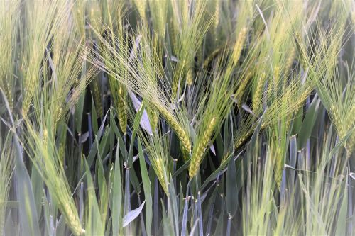 kvieciai,žieminiai kviečiai,laukas,grūdai,ariamasis,Žemdirbystė,rugių laukas,kukurūzų laukas,žalias,augalas,spiglys,grūdai,gamta,Halme,Uždaryti,fonas