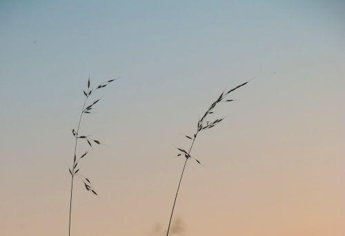 kvieciai,krūmas,laukas,kraštovaizdis,grūdai,aukso geltona,erdvus,vasara,debesys,ariamasis,krūmai,rugių laukas,spiglys,grūdai,dangus,žolė,gamta,Žemdirbystė,nuotaika,lengvumas,kukurūzų laukas,padėka,apšvietimas