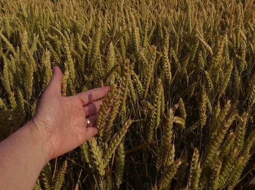 kvieciai,rugių laukas,derlius,Žemdirbystė,ranka,pateikti,spiglys,kukurūzų laukas,grūdai,laukas,grūdai,kraštovaizdis,vasara,gamta,Uždaryti,augalas,subrendęs,grūdai,smėlio spalvos,padėka