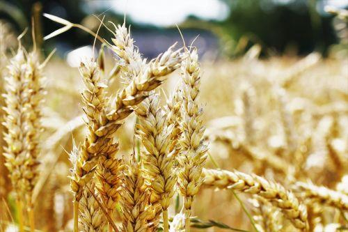 kvieciai,laukas,Žemdirbystė,rugių laukas,kukurūzų laukas,ausis,maistas,valgyti,ariamasis,mityba,vasara,laukai,grūdai,grūdai,einkorn