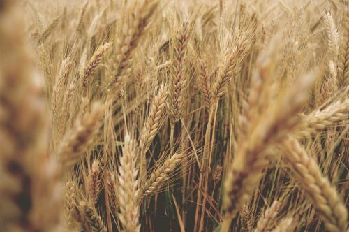 kvieciai,eiti,vasara,Švedija,lauke,kaimas,laukas,grūdai,augalas,smėlio spalvos,kviečių laukas,rugių laukas,popietė,vakaras,saulėlydis,gamta
