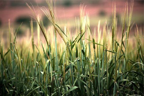 kvieciai,augalai,pasėliai,Žemdirbystė