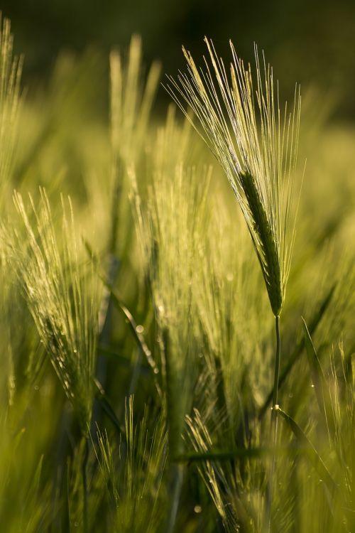 kvieciai,grūdai,žalias,ekologiškai,rugių laukas,grūdai,laukas,kukurūzų laukas,spiglys,ariamasis,maistas,valgyti,augalas,Žemdirbystė,vasara,derlius,apšvietimas,ruduo,mityba,kviečių grūdai,miežiai,rugiai,rugių laukas,kraštovaizdis,saulė,saulėtas,šviesa,gamta,natūra,nuotaika,Uždaryti,abendstimmung,atmosfera