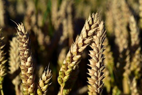kvieciai, rugių laukas, kviečių smaigalys, varpos, grūdų, maisto, Žemdirbystė, Iš arti, valgyti, maisto produktas, grūdai, auginimas, vasara, prinokę, grūdai, kviečių grūdai, makro, geltona