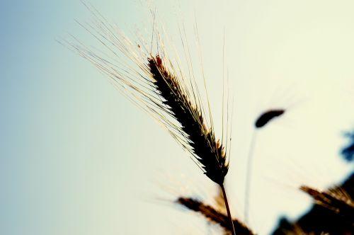 kvieciai,spiglys,grūdai,vasara,grūdai,laukas,ariamasis,rugių laukas,Žemdirbystė,kukurūzų laukas,kviečių smaigalys,derlius,augalas,gamta,maistas,subrendęs,dangus