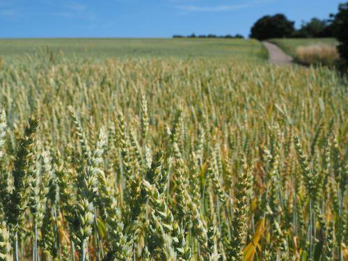 kvieciai,rugių laukas,grūdai,ausis,grūdai,kukurūzų laukas,maistas,Žemdirbystė,augalas,tvirtas,saldymedis,Poaceae,gentis triticum l,triticum aestivum,paprastieji kviečiai,duonos kviečiai,sėklų kviečiai