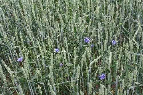 kvieciai,vasara,laukas,subrendęs,kukurūzai,biologinis,kukurūzų laukas,Žemdirbystė,kviečių smaigalys,derlius,pieva,mėlynas,žalias,rugių laukas,auginimas