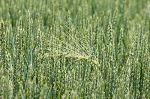 kvieciai,miežiai,grūdai,grūdai,spiglys,laukas,rugių laukas,kukurūzų laukas,Žemdirbystė,mityba