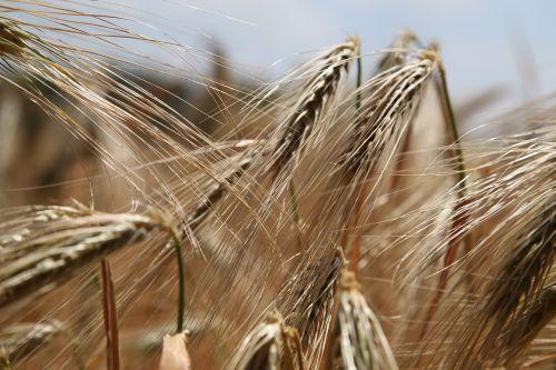 kvieciai,rugių laukas,rugiai,kviečių smaigalys,kukurūzų ausų ausys,grūdai,grūdai,laukas,Žemdirbystė,mityba,kepykla,duona,kepiniai,glitimas,maistas,Uždaryti,rugių laukas,auksas,lauko ekonomika