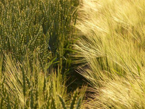 kvieciai,rugių laukas,kviečių smaigalys,spiglys,grūdai,grūdai,ariamasis,Žemdirbystė,derlius,maistas,sėkla,miežių laukas,miežiai,javai,kukurūzų laukas,laukas,ausis,maistingi miežiai