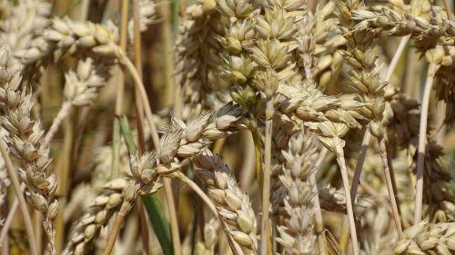 kvieciai, grūdai, makro, grūdai, rugių laukas, spiglys, Žemdirbystė, augalas, laukas, kukurūzų laukas, Uždaryti, subrendęs, grūdų laukai, gamta