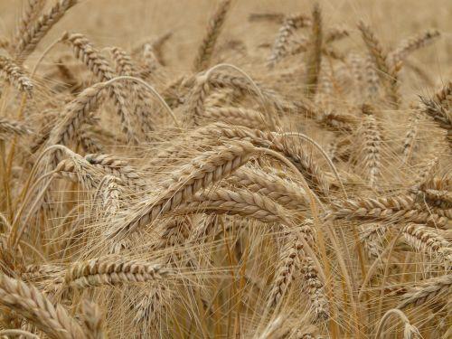 kvieciai,spiglys,rugių laukas,grūdai,kviečių smaigalys,grūdai,laukas,kukurūzų laukas,augalas,valgyti,maistas,ariamasis,rugiai,rugių laukas,maistingas rugius