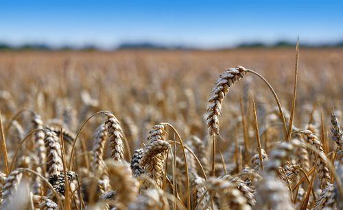 rugių laukas,kukurūzų ausis,laukas,kukurūzai,kvieciai,Žemdirbystė,javai,dangus,geltona,derlius,kaimas,pasėlių,augimas,kukurūzų laukas,ūkininkavimas
