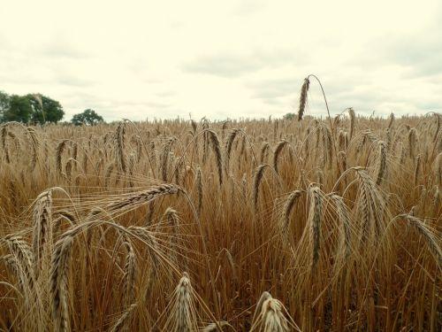 laukas, kvieciai, galvutės & nbsp, kviečiai, grūdai, prinokę & nbsp, kviečius, ruda & nbsp, kviečiai, stiebai, javai, kaimas, rugių laukas