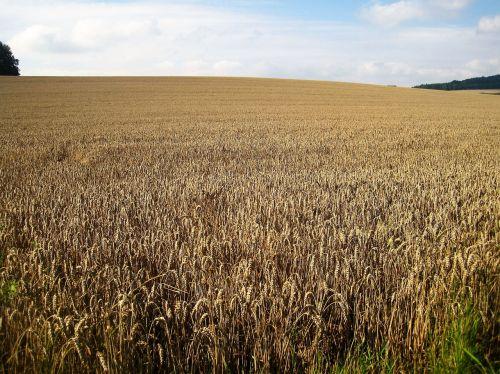 rugių laukas,vasaros pabaigoje,kukurūzų laukas,grūdai,aukso geltona,Žemdirbystė,grūdai,laukas,gamta,kaimas,vaizdingas,vasara,žemės ūkio,botanika,kraštovaizdis