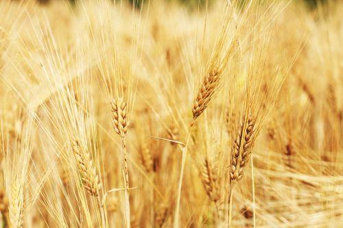rugių laukas,kvieciai,kukurūzų laukas,grūdai,laukas,žolė,Žemdirbystė,grūdai,ariamasis,geltona,valgyti,maistas,sėkla,derlius,aukso geltona,vaizdingas