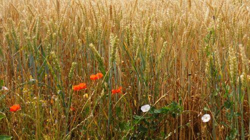 rugių laukas,kvieciai,kukurūzų laukas,Žemdirbystė,ariamasis,peržiūra,spiglys,laukas,grūdai,grūdai