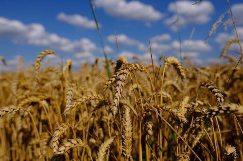 rugių laukas,ruduo,dangus,grūdai,derlius,kvieciai,augalas,kukurūzų laukas,laukas,kraštovaizdis,vasara,auksas,kviečių smaigalys,vaizdingas