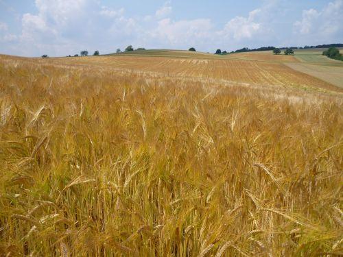 rugių laukas,kvieciai,grūdai,Žemdirbystė,kraštovaizdis,augalas,vaizdingas,grūdai,kviečių smaigalys,spiglys,ariamasis,derlius,maistas,sėkla,laukas,kukurūzų laukas,dangus,debesys