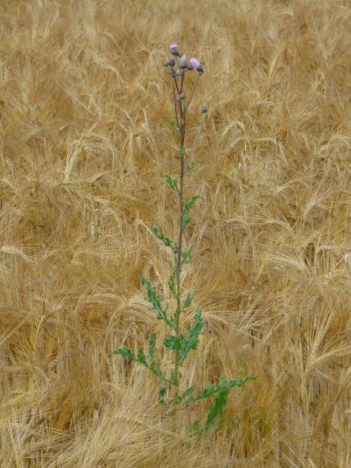 rugių laukas,drakonas,piktžolių,ariamasis,kukurūzų ausis,kvieciai,kviečių smaigalys,spiglys,grūdai,Žemdirbystė,maistas,derlius,laukas,kukurūzų laukas,augalas,rugių laukas