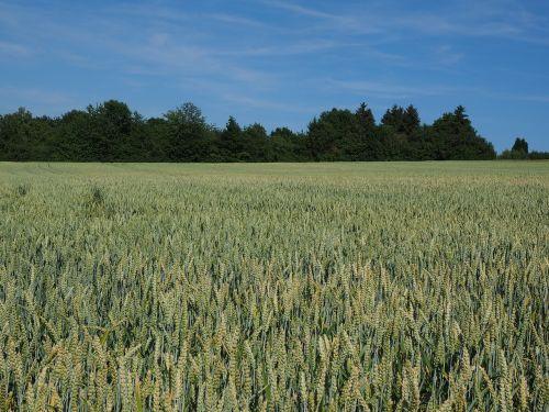 rugių laukas,kvieciai,grūdai,ausis,grūdai,kukurūzų laukas,maistas,Žemdirbystė,augalas,tvirtas,saldymedis,Poaceae,gentis triticum l,triticum aestivum,paprastieji kviečiai,duonos kviečiai,sėklų kviečiai