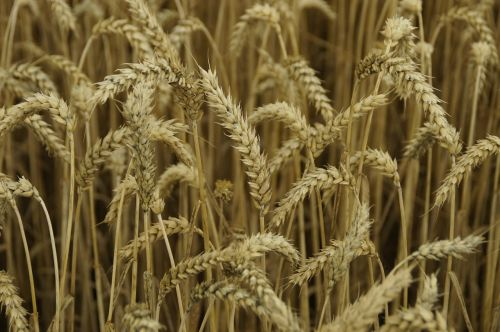 kviečių smaigalys,kukurūzų laukas,Žemdirbystė