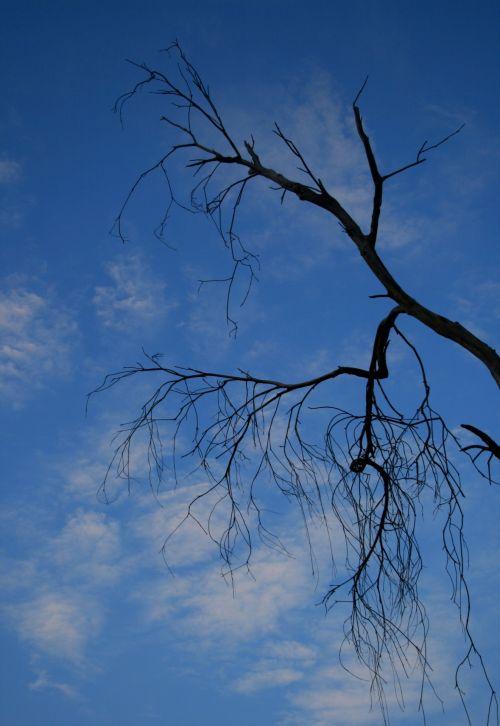 medis, miręs, juoda, baugus, filialai, sausas, netinkamas, dangus, mėlynas, debesys, plonas, plikasis, balta, gudrus, plika debesis