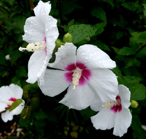 sharon,marškiniai,balta,gėlės,lietus,lašas vandens,violetinė,raudona violetinė,horizontalus horizontalus kelias,6 upių gaudyklė,Jokohama,Japonija