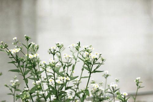 balta,žiedlapis,gėlė,žalias,lapai,augalas,gamta,blur,galinis kiemas,sodas